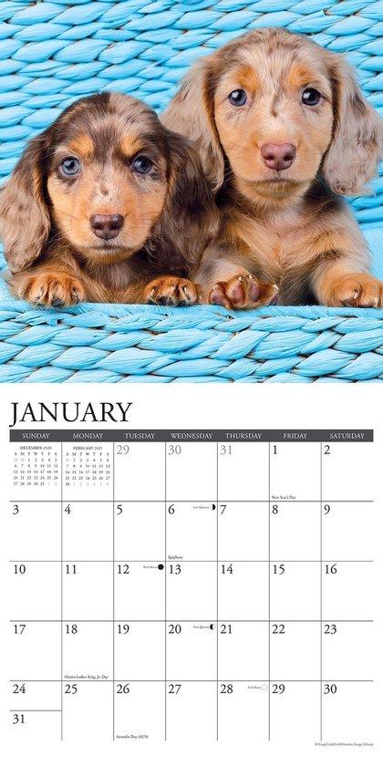 Just Dachshund Puppies 2021 Calendar