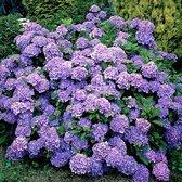 3x Hydrangea Macrophylla Renate Steiniger - Hortensia blauw - Set van 3 - ↑ 10-15cm - Ø 9,5cm