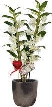 Orchidee van Botanicly – Cadeau! Witte Bamboo Orchid ® in keramiek pot 'Yume' met glitter hartje als set – Hoogte: 55 cm, 2 takken, witte bloemen – Dendrobium nobile Apollon