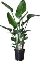 Strelitzia - Trendy kamerplant / potplant - 120 cm