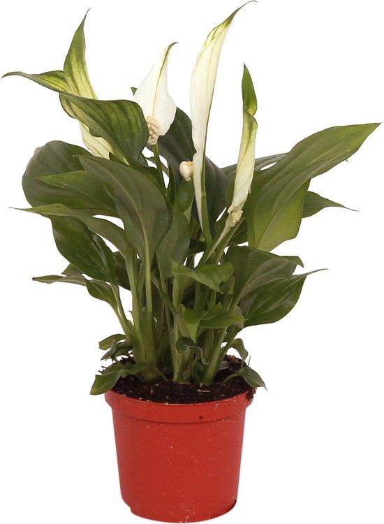 Spathiphyllum 'Pearl Cupido' - Lepelplant - ↑ 70-80cm - Ø 17cm