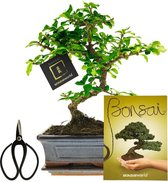 Bonsaiworld Bonsai Starters Kit - 5-Delige Set - 10 jaar oud - ↕️ 25-30 cm