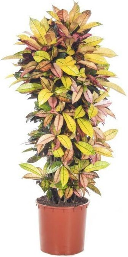 Croton Wonderstuik XL