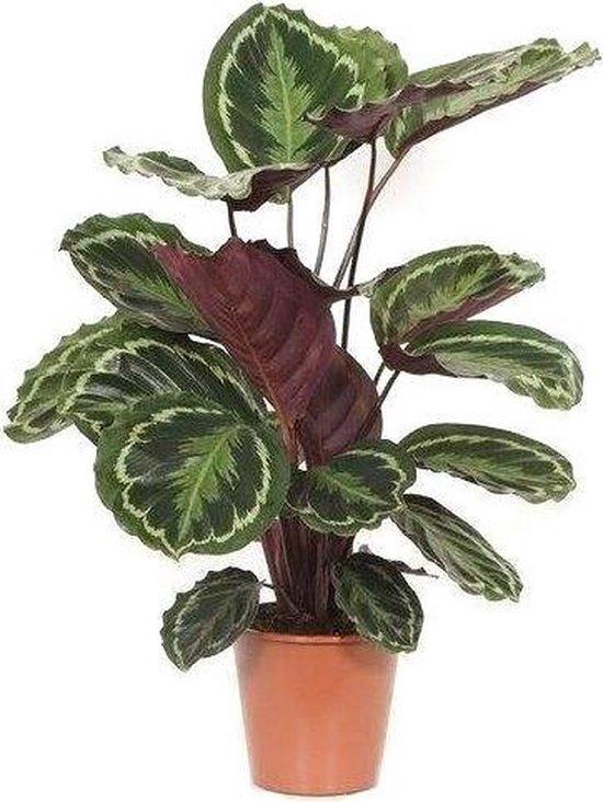 Calathea Living Plant Brown