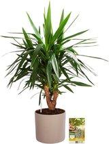 Pokon® Yucca / Palmlelie incl. watermeter en voeding - in Mica Era Pot Licht Grijs - hoogte ↕100 cm
