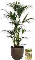 Pokon® Kentia Palm incl. watermeter en voeding - in Mica Tusca Pot Groen - hoogte ↕125 cm