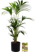 Pokon® Kentia Palm incl. watermeter en voeding - in Mica Era Pot Donker Grijs - hoogte ↕90 cm