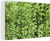 Wilde stengels van het groene worstkruid in de natuur Canvas 120x80 cm - Foto print op Canvas schilderij (Wanddecoratie woonkamer / slaapkamer)