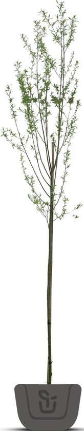 Knotwilg   Salix alba   Stamomtrek: 6-8 cm