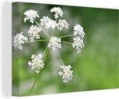 Bloeiende kervel bloem in een bos Canvas 180x120 cm - Foto print op Canvas schilderij (Wanddecoratie woonkamer / slaapkamer) XXL / Groot formaat!