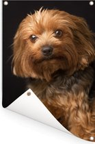 Portretfoto van een goudbruine Yorkshire Terrier Tuinposter 80x120 cm - Tuindoek / Buitencanvas / Schilderijen voor buiten (tuin decoratie)