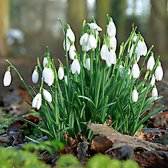 25x Galanthus woronowii - Sneeuwklokjes - Wit - Winterhard - 25 bloembollen  Ø 5cm