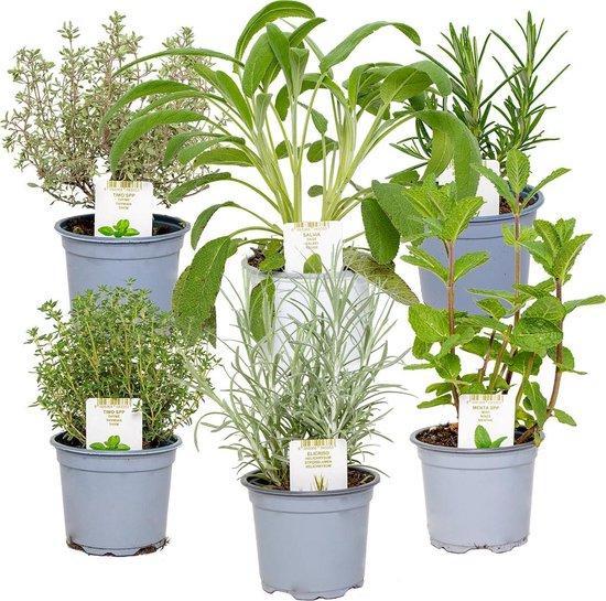 Tuinkruiden mix per 6 stuks - binnen- en buitenplant in kwekerspot ⌀9 cm - ↕10-15 cm