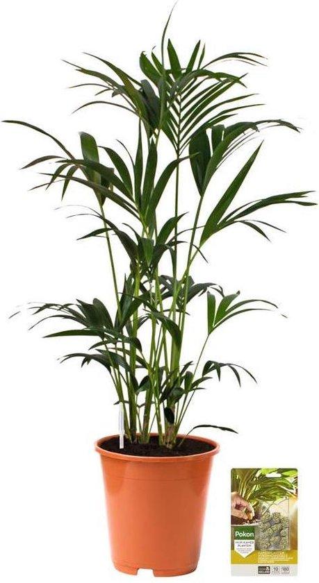 Pokon® Kentia Palm incl. watermeter en voeding - hoogte ↕125 cm