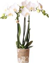 Kolibri Orchids | Phalaenopsis orchidee - 40cm hoog - Ø9cm | wit