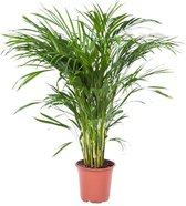 Choice of Green Areca Dypsis Palm - Kamerplant in Kwekers Pot ⌀21 cm -  ↕100 cm