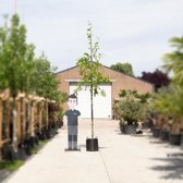 Moeraseik - 'Quercus palustris' 300 - 400 cm totaalhoogte (10 - 14 cm stamomtrek)