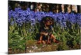 Een Cavalier King Charles-spaniël tussen de blauwe bloemen Aluminium 90x60 cm - Foto print op Aluminium (metaal wanddecoratie)