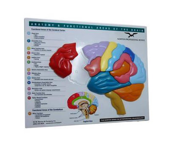 Brain Model & Puzzle - Anatomy and Functional Areas of the Brain