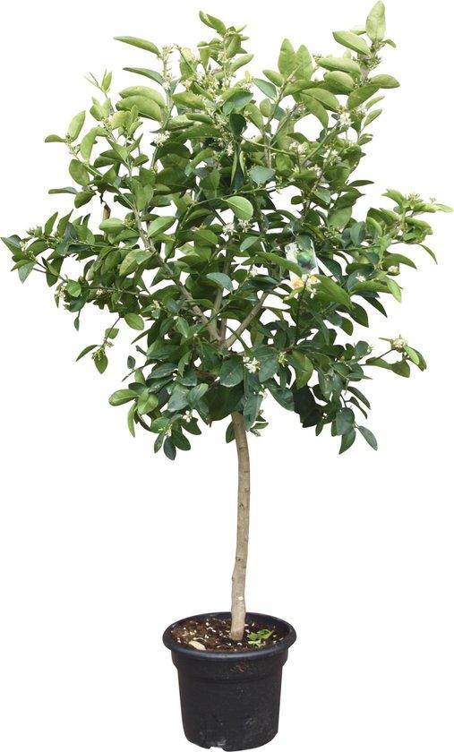 Limoenboom, Citrus Latifolia, groene limoen, 160cm