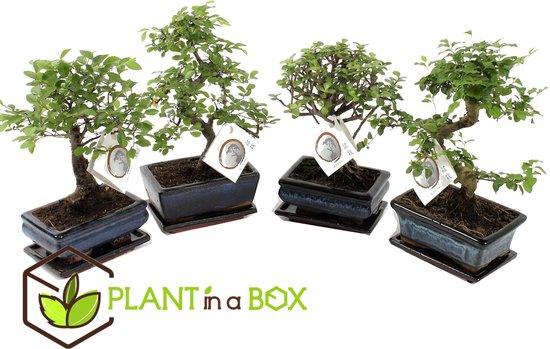 Bol Com Plant In A Box Chinese Bonsai Boompjes Set Van 2 Kamerplanten In Keramieken Schaal