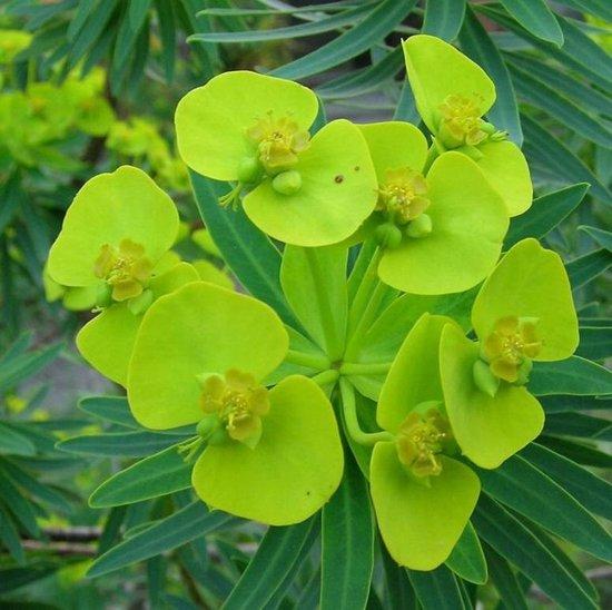 6 x Euphorbia Lathyris - Kruisbladwolfsmelk pot 9x9cm
