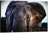 Dibond – Oude Olifant– 60x40 Foto op Aluminium (Wanddecoratie van metaal)