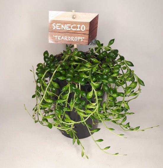 Senecio Erwtenplant in 12cm kwekerij pot