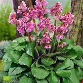 Bergenia Cordifolia 'Eroica' - Schoenlappersplant biologisch - Roze - ↑ 25-35cm - Ø 13cm