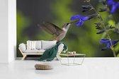 Fotobehang vinyl - Robijnkeelkolibrie drinkt uit een blauwe bloem breedte 605 cm x hoogte 340 cm - Foto print op behang (in 7 formaten beschikbaar)