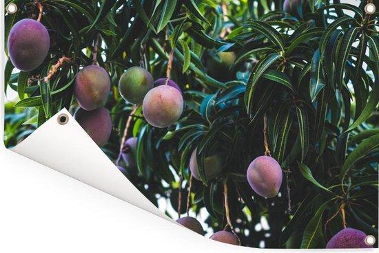 Rijpende mango's aan de boom Tuinposter 90x60 cm - Tuindoek / Buitencanvas / Schilderijen voor buiten (tuin decoratie)
