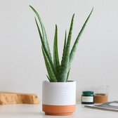 Find the perfect Aloe Vera for you