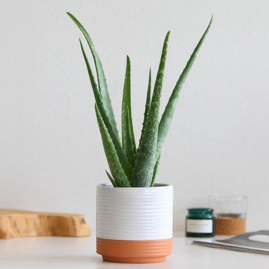 Aloe vera plant inclusief pot