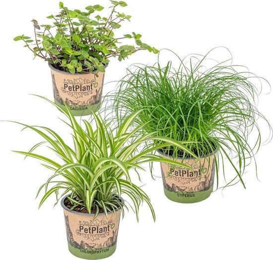 Mix 3x PetFriendly kamerplanten - Kattengras, Graslelie & Schildpadplant ⌀12 cm - ↕20-25 cm