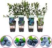 Blauwe bosbessen mix - set van 4 blauwe bosbessen - hoogte 50-60 cm - zelfbestuivend, winterhard