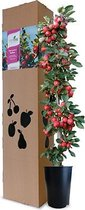 Minitree Appelboom Redlane
