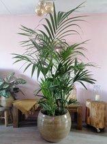 Kentia palm Howea 200 cm. hoog. Een makkelijk te verzorgen plant! Gratis  bezorging door onszelf om beschadiging te voorkomen.