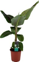 ZynesFlora - Musa Dwarf -  Bananenplant - Ø 12 cm - ↕ Hoogte: 30 cm – Luchtzuiverend – Kamerplant - Musa - Black Friday - Kerst - Sinterklaas