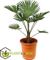 Plant in a Box - Trachycarpus Wagnerianus - Aziatische Waaierpalm - Pot ⌀24 cm -Hoogte ↕ 65-75cm