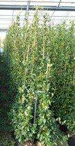 Trachelospermum jasminoides - Sterjasmijn 3 Stuks