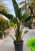 Strelitzia Augusta 155 cm de grove, ruige soort met dikker blad zo uit het buitenland. - Groen