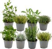 ZynesFlora.nl | Italiaanse Kruidenmix – 8 Stuks - Ø 12 cm - ↕ Hoogte: 12-15 cm - Buitenplant – Tuinplant - Tuinkruiden - Kruiden