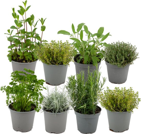 ZynesFlora.nl   Italiaanse Kruidenmix – 8 Stuks - Ø 12 cm - ↕ Hoogte: 12-15 cm - Buitenplant – Tuinplant - Tuinkruiden - Kruiden