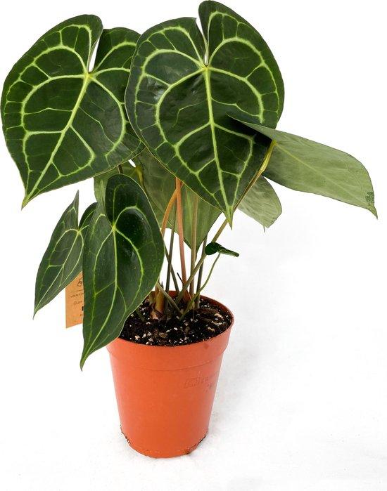 Anthurium Clarinervium ⌀15 cm - ↕ ca. 50cm (Trendy, Urbanjungle, Bijzondere kamerplanten)