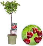 Kersenboom, Prunus avium 'Stella',  hoogte 70 - 90 cm - fruitboom - zelfbestuivend - winterhard