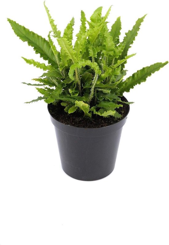 Asplenium scolopendrium 'Angustifolia'; Totale hoogte ± 30cm incl. 1,7 Ltr. pot | Tongvaren 'Angustifolia' | Zeldzaam in Nederland