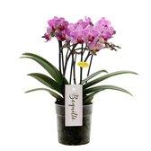 Orchidee | Multiflower Lila