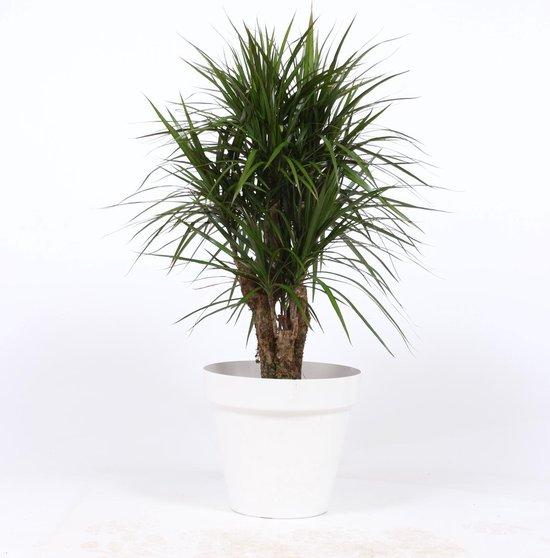 Kamerplant in sierpot wit - Dracaena Marginata - ↑120 cm - Ø pot 27cm - vertakt