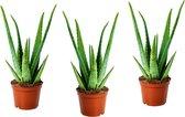 Plant in a Box - Set van 3 Aloë Vera kamerplanten - Pot ⌀10cm - Hoogte ↕ 20-30cm