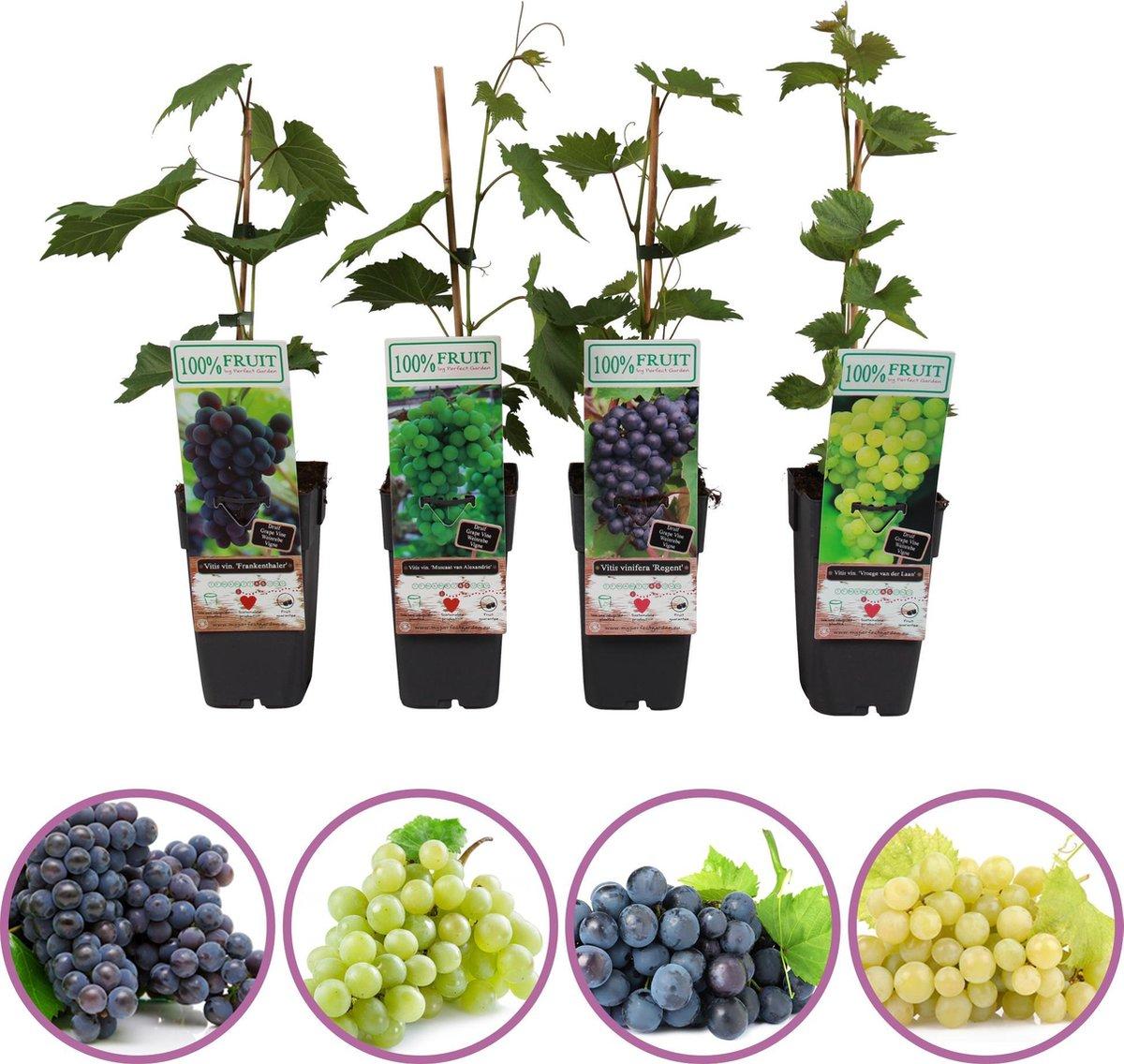 Druiven fruitplanten mix - set van 4 verschillende druiven - 2 blauwe en 2 witte druiven - hoogte 50-60 cm - zelfbestuivend, winterhard